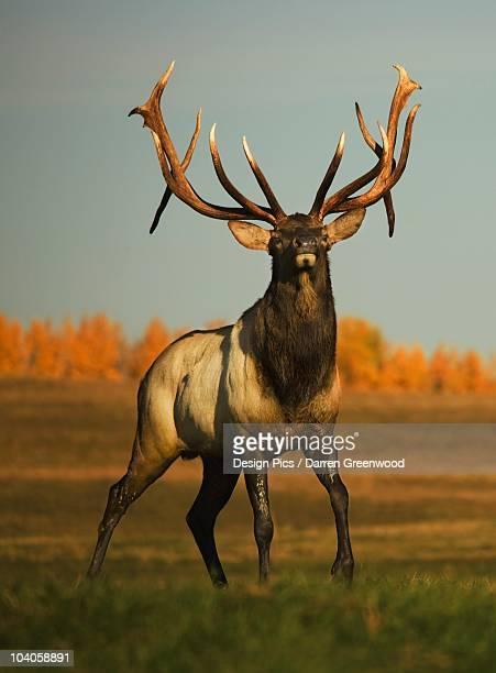 elk (cervus canadensis) - wapiti foto e immagini stock