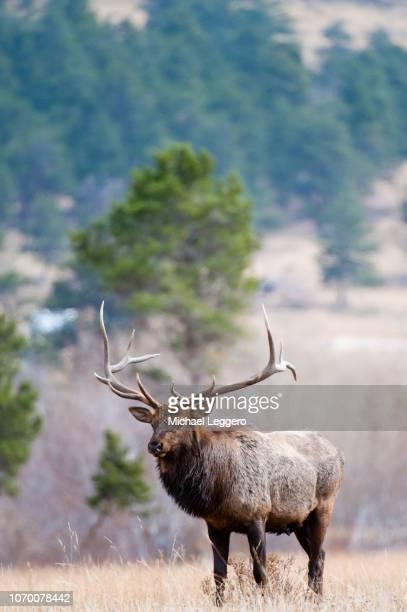 elk - wapiti foto e immagini stock