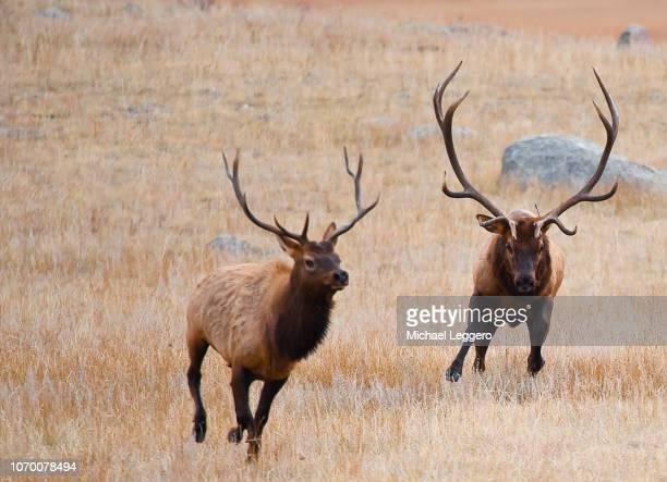 elk - アカシカ ストックフォトと画像