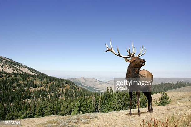 elk - idaho stock pictures, royalty-free photos & images
