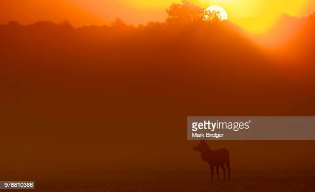 Elk silhouette at sunrise in Richmond Park, London, England, UK