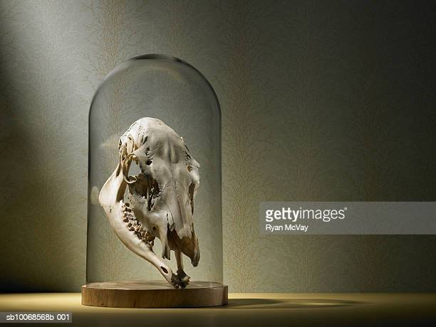 elk skull under glass dome - dead deer stock photos and pictures