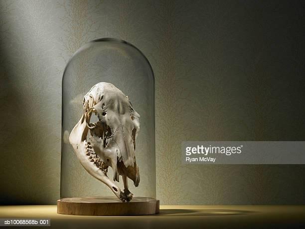 Elk skull under glass dome