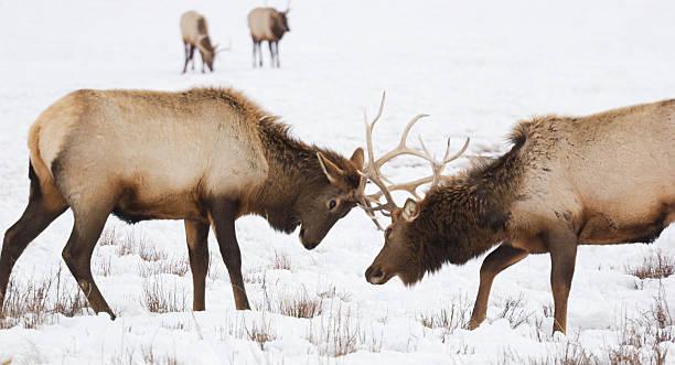 Elk Sparring Wall Art
