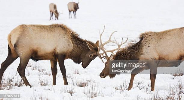 Elk Sparring