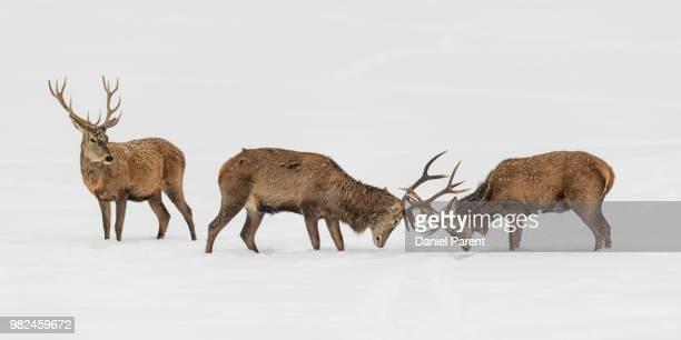 Elk stags fighting in snow.