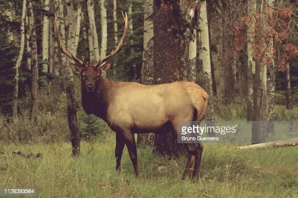 elk standing by tree in forest - wapiti foto e immagini stock