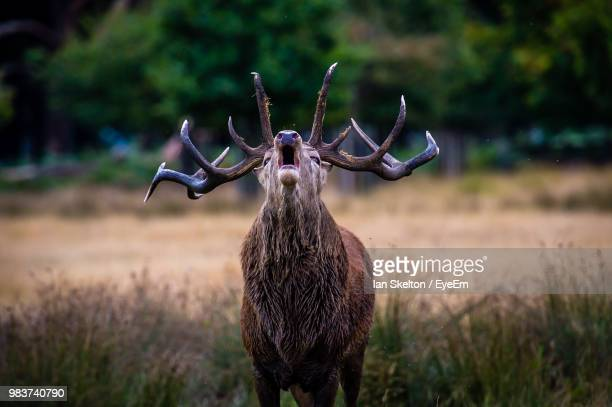 elk standing on field - call of the wild stock pictures, royalty-free photos & images