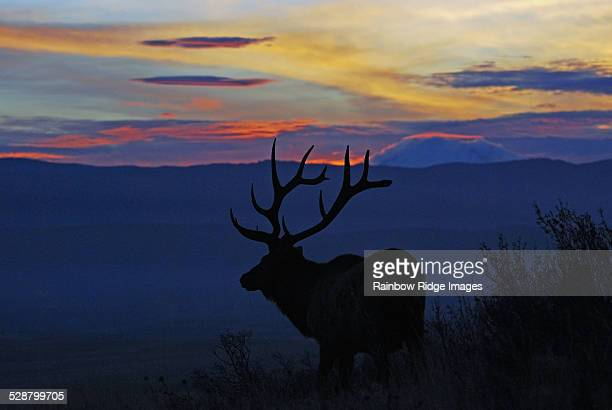 Elk Sunset