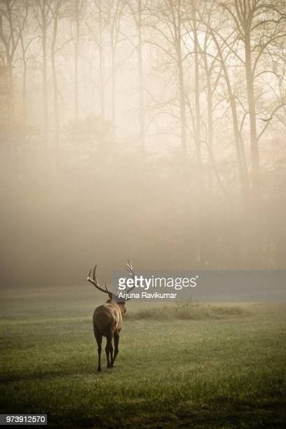 elk walking on grass in foggy weather, great smoky mountains national park, tennessee, usa - wapiti foto e immagini stock