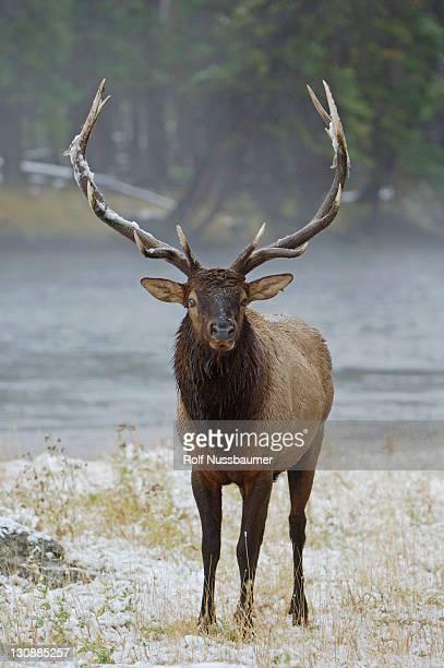 elk, wapiti (cervus elaphus), bull calling, bugling, yellowstone national park, wyoming, usa - bugle stock pictures, royalty-free photos & images