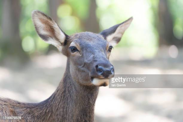 elk_2 - ian gwinn stock pictures, royalty-free photos & images