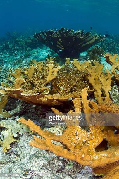 Elkhorn coral colony, Curacao, Netherlands Antilles,