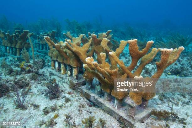 elkhorn coral (acropora palmata) in coral nursery. - ハードコーラル ストックフォトと画像