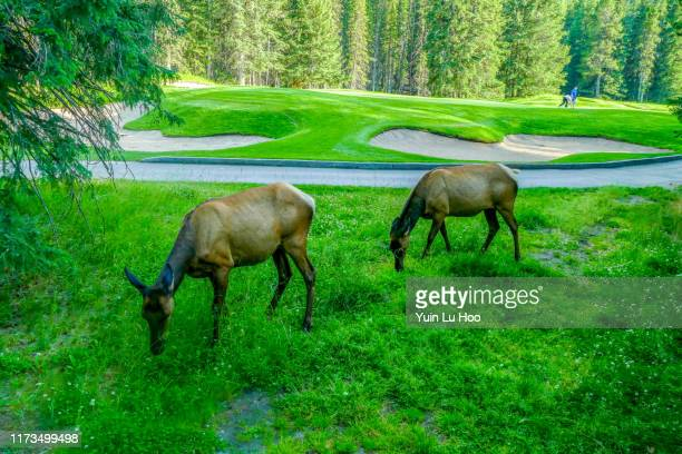 elks on banff springs golf course, banff national park, canada - banff springs golf course stock photos and pictures