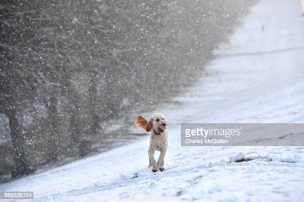 Ella an Irish Doodle a cross between an Irish red setter and a poodle plays in the snow at Stormont on December 8 2017 in Belfast Northern Ireland...