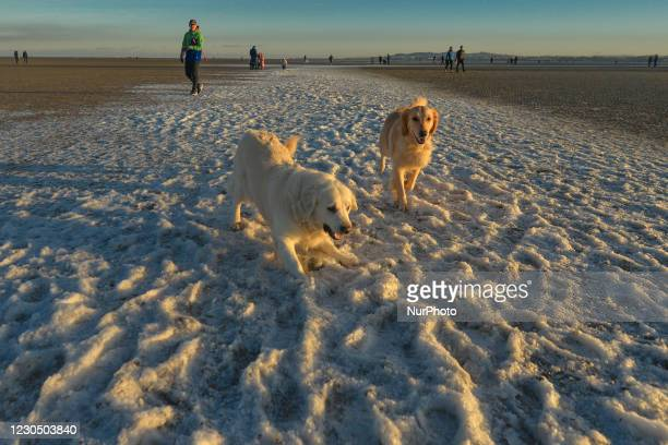 Ellie and Lali, deux Golden Retrievers, enjoy playing in the snow dusted Sandymount Strand in Dublin during Level 5 Covid-19 lockdown. This evening,...