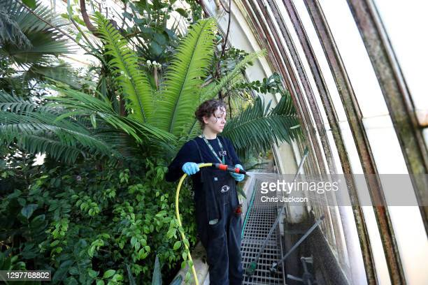 Ellie Edmonds, Kew Diploma Student cleans the windows of The Palm House at Kew Gardens on January 22, 2021 in London, England. Built by architect...
