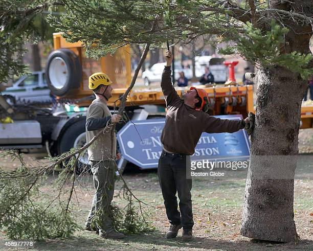 Ellis Dematos with Maltby Landscape Company of Stoughton stands on his toes as he trims a branch held by Brian Maltby for Boston's official Christmas...