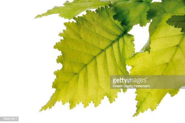 Elm leaves (Ulmus Americana) against white background, close-up