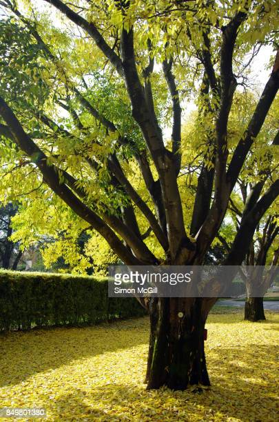 elm tree during autumn in reid, canberra, australian capital territory, australia - elm tree stock pictures, royalty-free photos & images