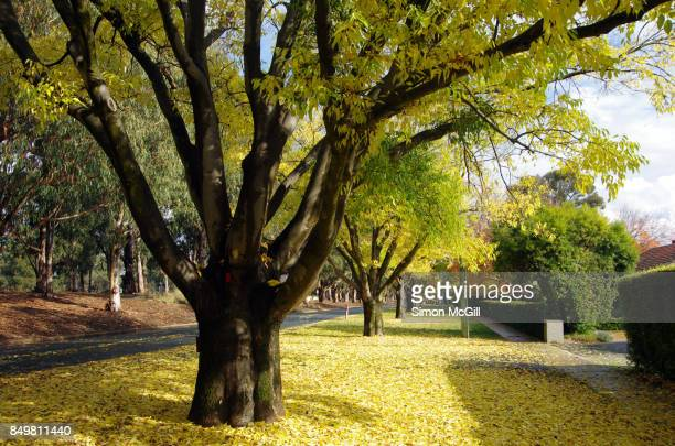 Elm trees during Autumn in Reid, Canberra, Australian Capital Territory, Australia