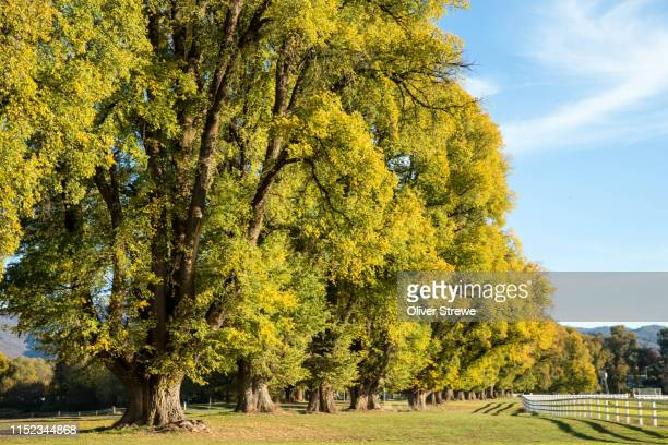 elm trees in tumut - elm tree stock pictures, royalty-free photos & images