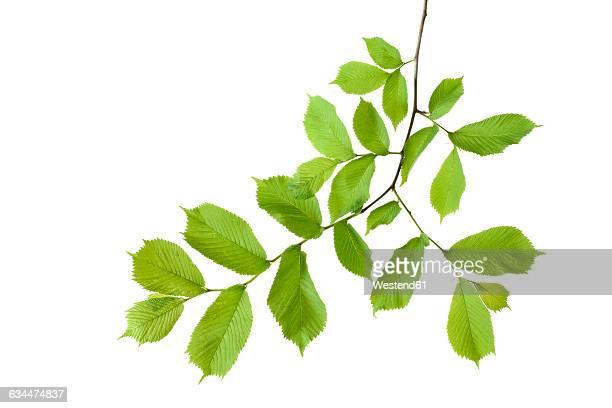 elm, ulmus minor, ulmaceae, leaves against white background - ast pflanzenbestandteil stock-fotos und bilder
