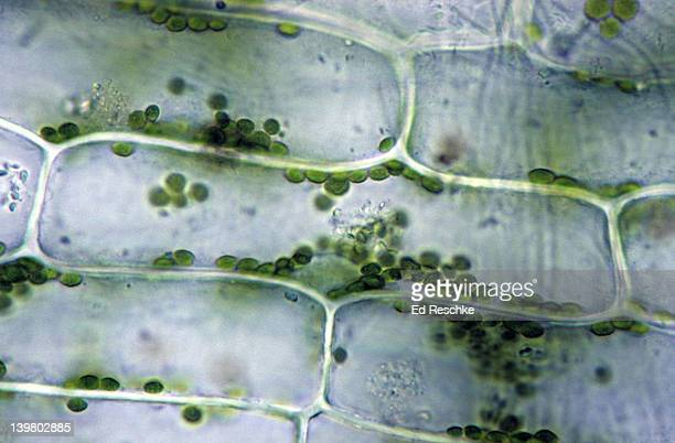 chloroplasts & nucleus in a plant cell. elodea, 250x.  shows:  chloroplasts, nucleus, and cell wall. - ed reschke photography stock photos and pictures