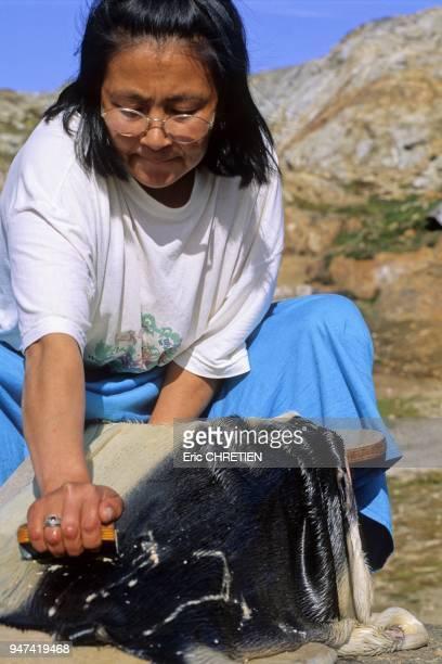 Elona utilise un grattoir afin d'enlever la graisse tres presente dans les peaux de phoque Village de Tiniteqilaaq Region d'Ammassalik