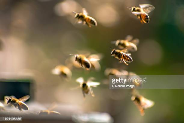 elqui valley bees / abejas del valle de elqui - bee stock pictures, royalty-free photos & images