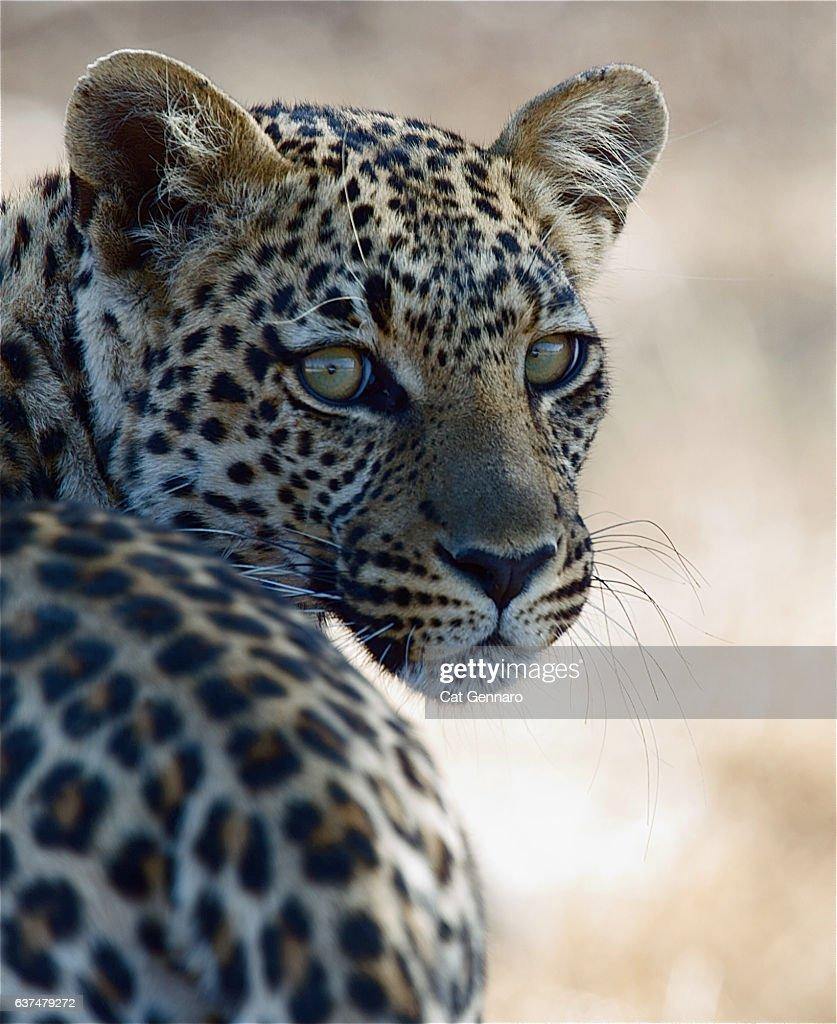 Elusive Leopard Strikes a Pose : Stock Photo