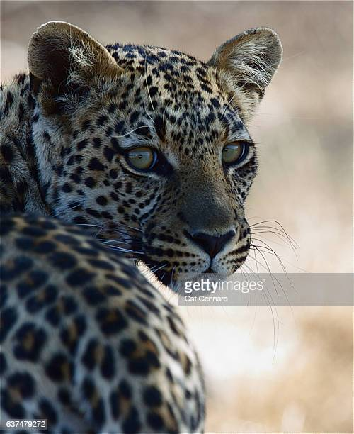 elusive leopard strikes a pose - carnivora stock pictures, royalty-free photos & images