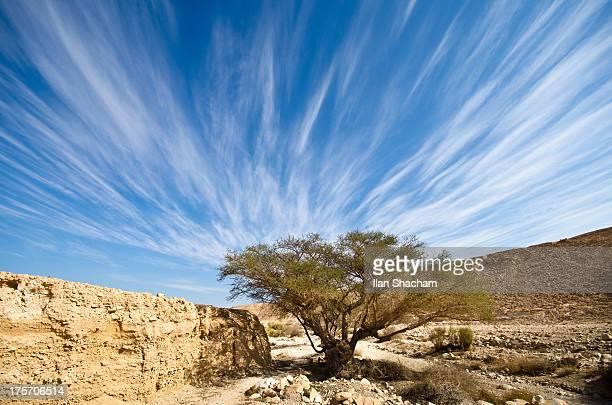 Emanating Acacia tree