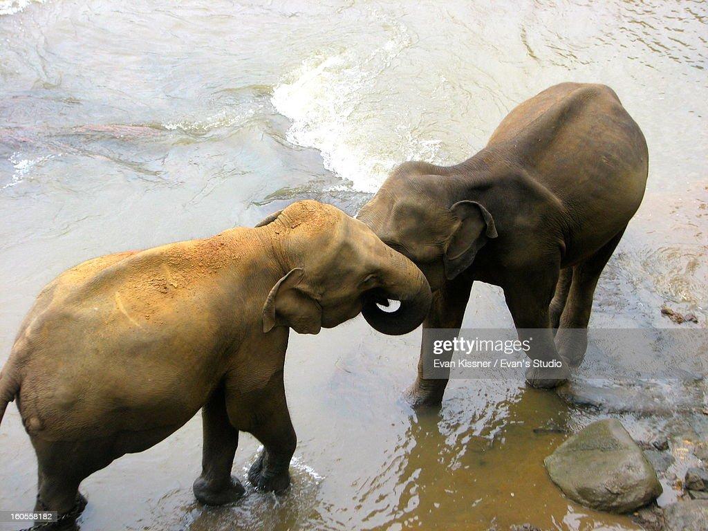 Embracing Elephants. : Stock Photo