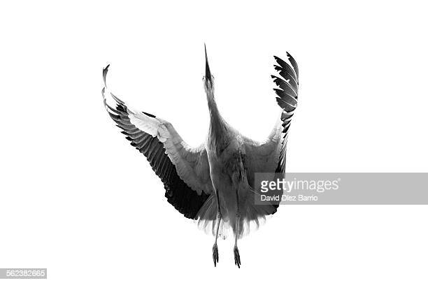 embracing the air - phoenix bird stock pictures, royalty-free photos & images