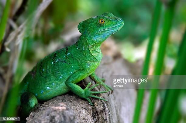 Emerald basilisk / plumed basilisk / green basilisk / double crested basilisk / Jesus Christ lizard close up portrait Costa Rica