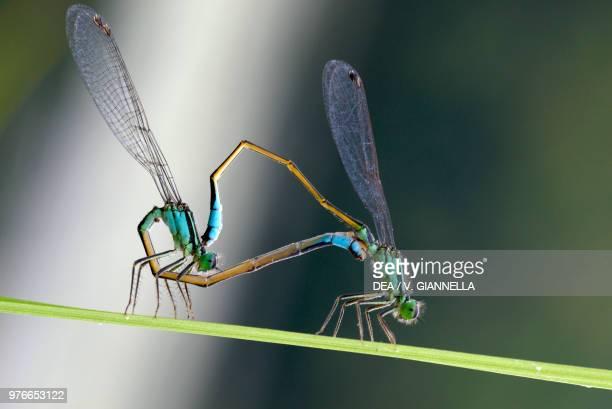 Emerald damselflies mating Lestidae Ecomuseum Adda di Leonardo Lombardy Italy