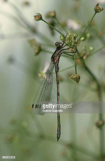 emerald damselfly, lestes sponsa, immature male, surrey, uk - sponsa stock photos and pictures