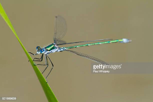emerald damselfly -lestes sponsa-, male, on grass stem, south wales, united kingdom - sponsa stock photos and pictures