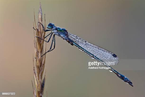 emerald damselfly (lestes sponsa), male, burgenland, austria - sponsa stock photos and pictures