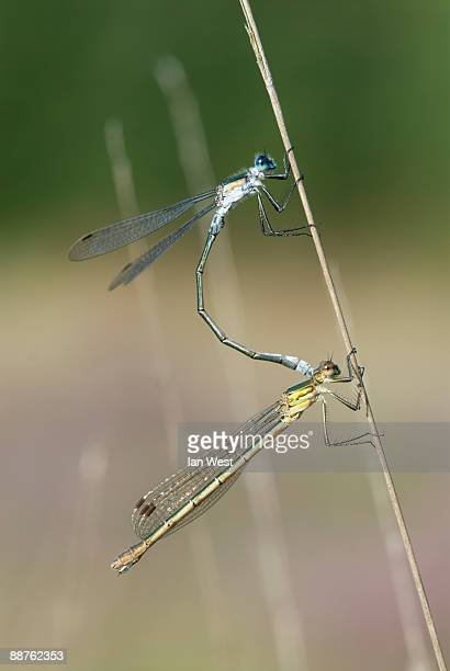 emerald damselfly (lestes sponsa) pair mating, sussex, uk, august - sponsa stock photos and pictures