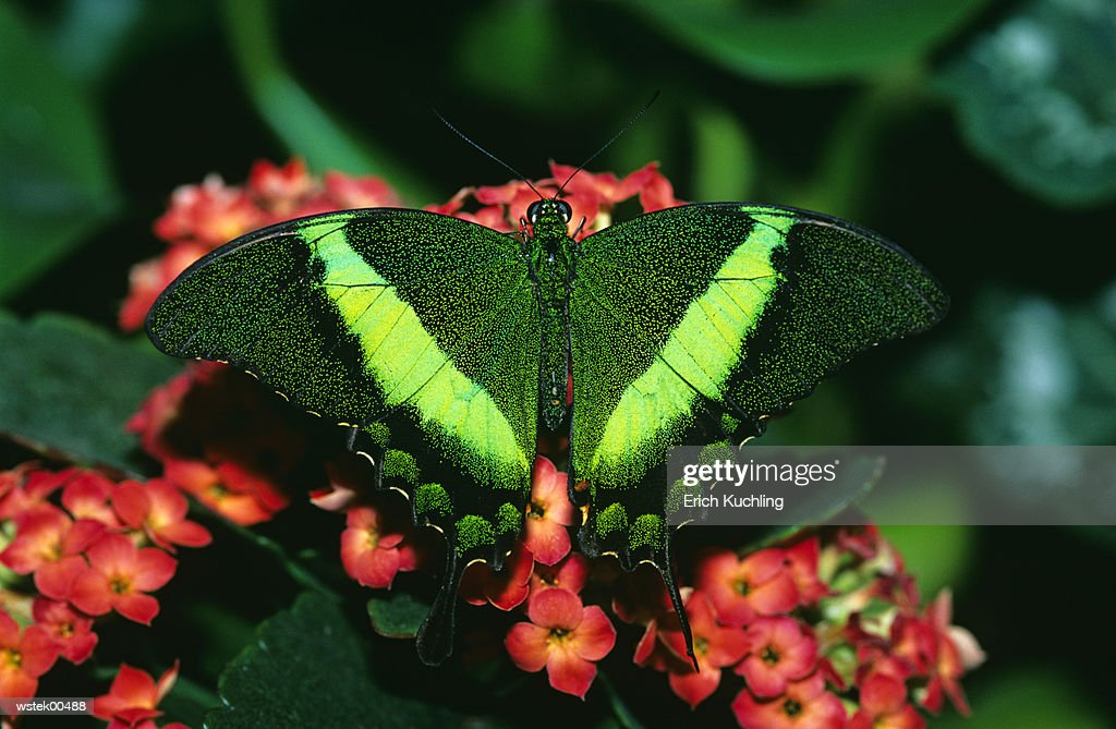 Emerald Swallowtail butterfly, (Papilio palinurus), close up : Stock Photo
