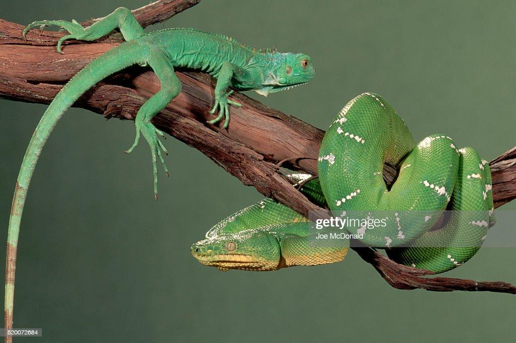 Emerald Tree Boa and Green Iguana on a Branch : Stock Photo