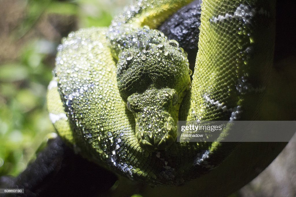 Emerald tree boa constrictor : Stock Photo