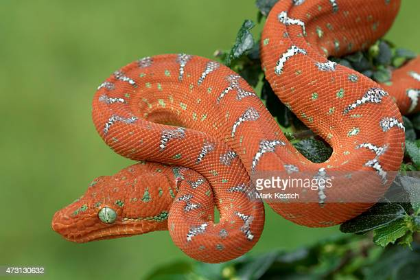 emerald tree boa - juvenile red. hunting in tree - boa constrictor stock photos and pictures