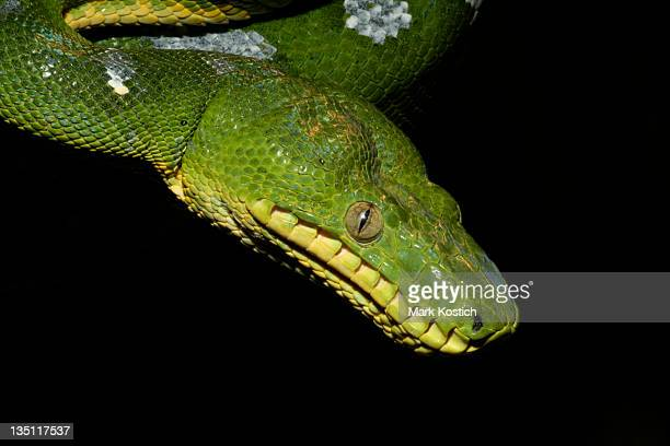 Emerald Tree Boa (Snake)