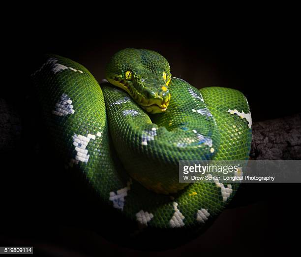 emerald tree boa - boa constrictor stock photos and pictures