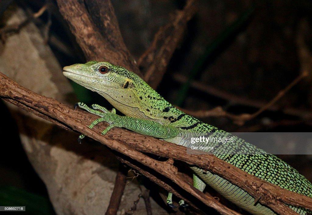 Emerald tree monitor (Varanus prasinus) : Stock Photo