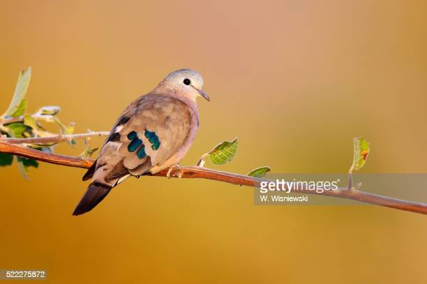 Emerald-spotted dove or green-spotted dove (Turtur chalcospilos) . South Luangwa National Park. Zambia